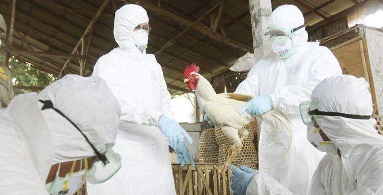 Detectan focos de virus de influenza aviar AH7N3 en Guanajuato y Queretaro